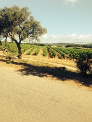 Vineyards of St Tropez